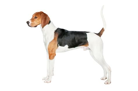 treeing walker coonhound puppy treeing walker coonhound breed information pictures breeds picture