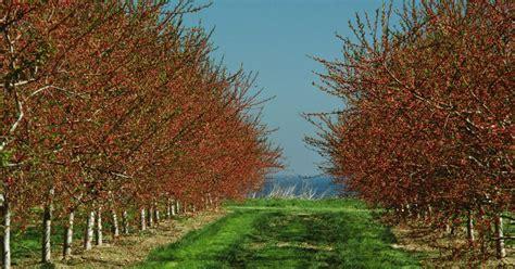 cherry tree usda zone how to grow rainier cherry trees ehow uk