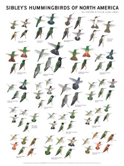 Kinds Of Birds In Your Backyard by Sibley S Hummingbirds Of America Wall Poster Hummingbirds Hummingbirds