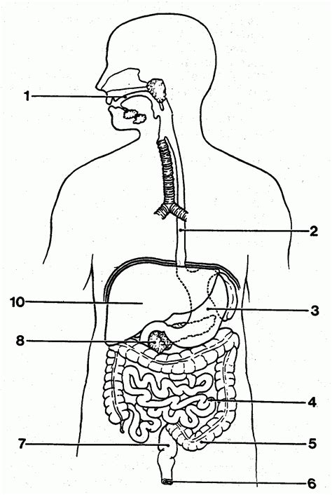 labeled digestive system diagram unlabeled digestive system diagram of anatomy