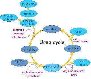 Ammonia Detox Problems by Urea Cycle Disorder Problems Genetic Disorders Articles