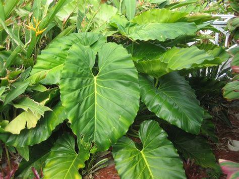 elephant s ear garden poison plants pinterest