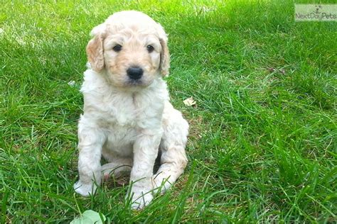 goldendoodle puppy denver adorable f1b goldendoodle puppy goldendoodle puppy