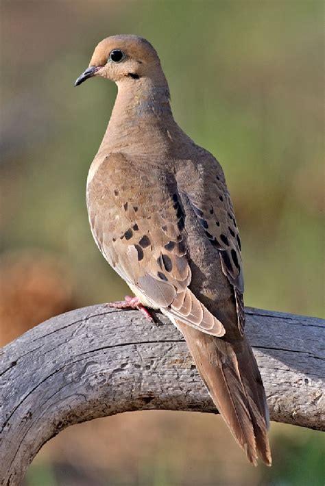mourning dove louisiana department of wildlife and fisheries