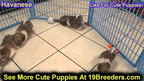 havanese washington state havanese puppies for sale in washington state breeds picture