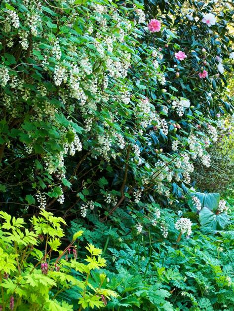 shade tolerant flowering shrubs shrubs for shade casual cottage