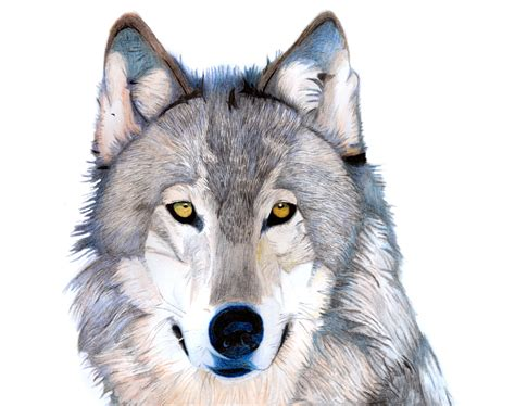 timberwolf color grey timber wolf by lordsofelizium on deviantart