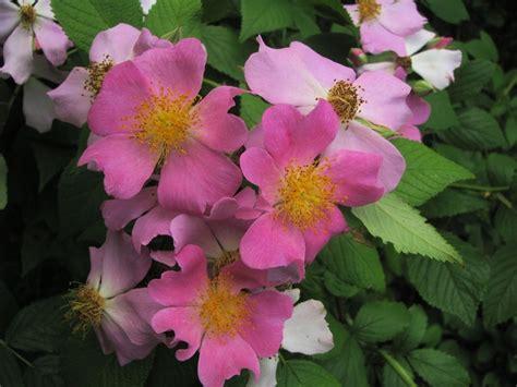 wild prairie rose iowa s state flower serious north dakota state flower wild prairie rose homeschool