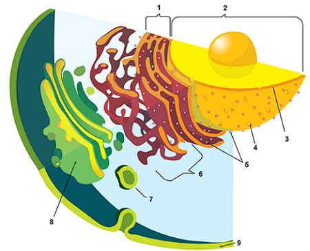 animal  plant cell labeling key