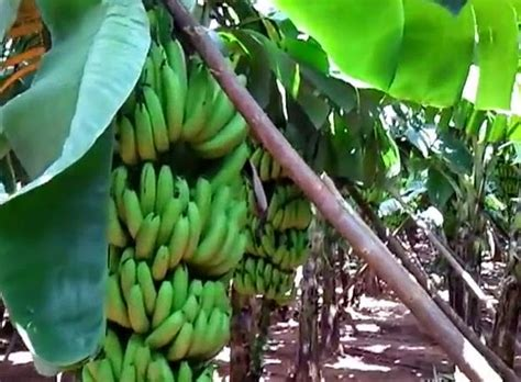 langkah  menanam budidaya pisang pertanian