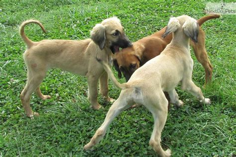 saluki puppies for sale saluki puppy for sale near roanoke virginia 09fe3b1f a351