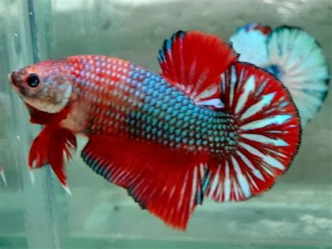 Pakan Ikan Cupan Hias jenis cupang hias budidaya cupang hias