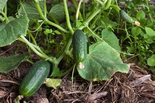 how to plant cucumber seeds ebay