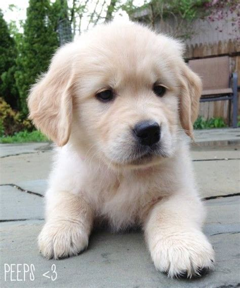 baby golden retriever puppies for sale 17 best ideas about baby golden retrievers on retriever puppies golden