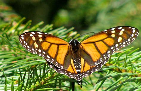 of a butterfly monarch butterfly 16 cool hd wallpaper hivewallpaper