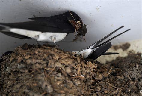 wann bauen schwalben ihre nester schwalben zwitschernde gl 252 cksbringer unterm dach