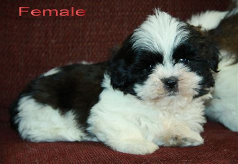 black white shih tzu black and white shih tzu puppy puppies for sale dogs for sale in ontario canada