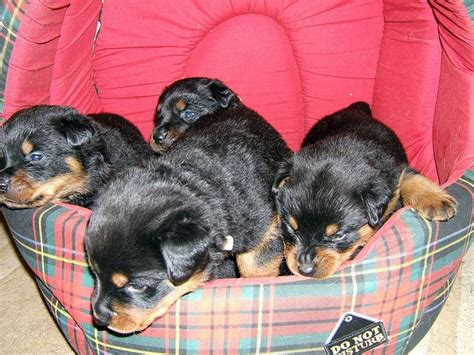 fluffy rottweiler 17 best images about fluffy rottweilers on puppys i want and to find out