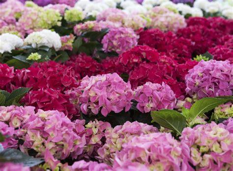 pflanzen hortensien hortensien schneiden der schwierige schnitt
