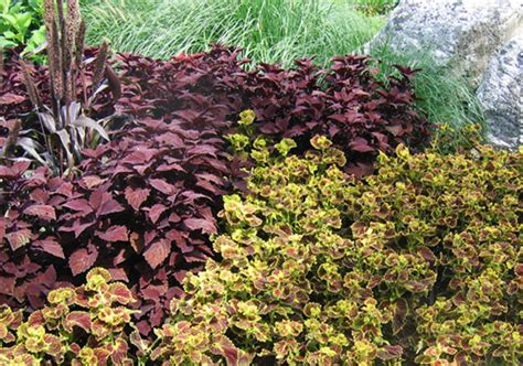 coleus landscaping pictures to pin on pinterest pinsdaddy