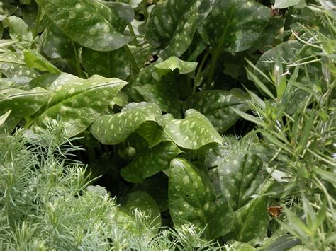 Designer 04 Variegated by Create A White Shade Garden With These 8 Plants