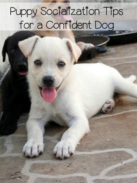 puppy socialization puppy socialization the key to overcoming fears