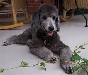 standard poodle hair styles good standard poodle with no haircut accordingly