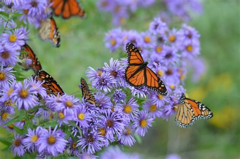 monarch butterflies on purple flowers butterfly purple