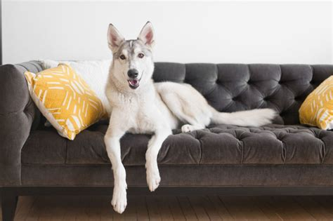dog on sofa best fabric couches for dogs homesfeed