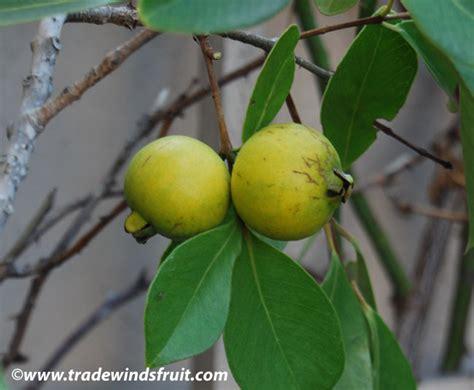 Bibit Blueberry Di Indonesia kewirausahaan tanaman hias buah