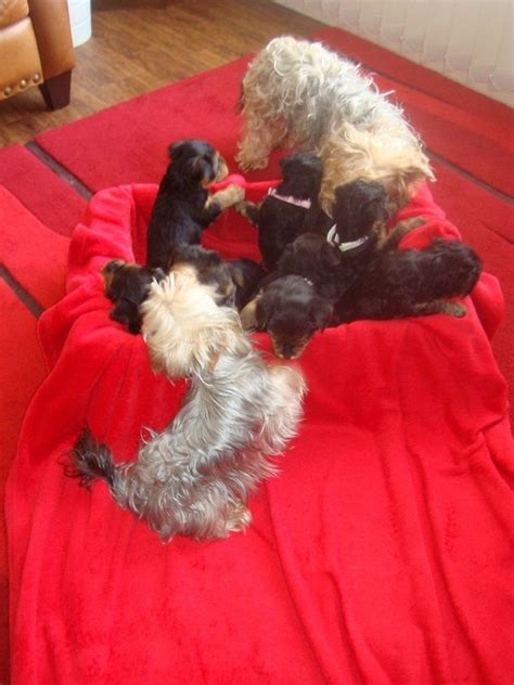 yorkies for sale in dc yorkie puppies for sale dundee angus pets4homes
