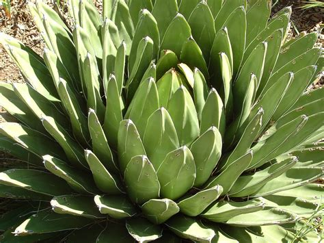 do aloe plants need sunlight in the garden tips and comments