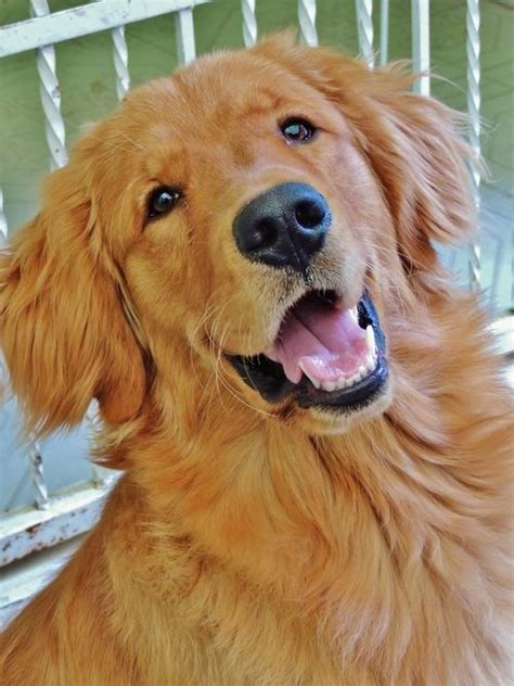 what colors do golden retrievers come in 17 best images about golden retrievers on beautiful dogs the golden and