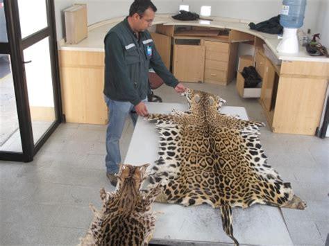 Jaguar Auto Nacionalidad by Arica Dos Pieles De Jaguar Fueron Incautadas En