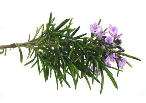 fiori rosmarino noixlucoli onlus il rosmarino e per la rimembranza