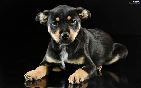 Black, background, Puppy - Dogs wallpapers: 1920x1200
