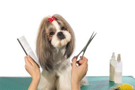 como cortar el pelo a mi perro shih tzu 191 c 243 mo cortar el pelo a un perro en casa 161 sigue este paso a paso