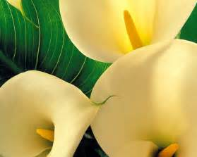 Yellow Calla Lily Flowers Yellow Calla Lilies Flowers