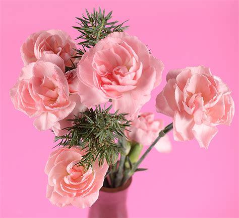 imagenes imágenes fondos de pantalla dianthus fondo de color rosa color
