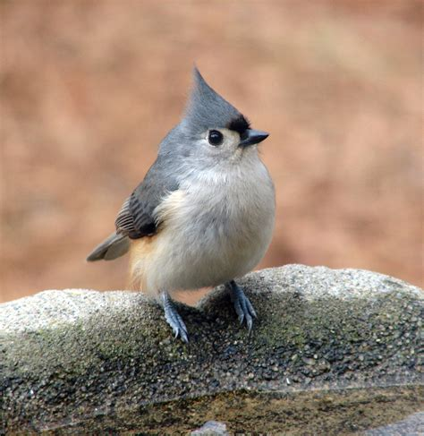tufted titmouse cutie bird quot the titmice are the most