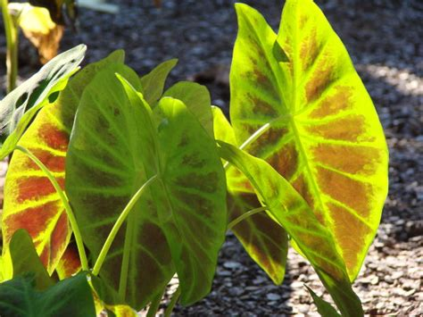 which side is up when planting elephant ear bulbs