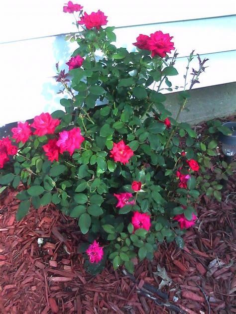 knockout rose care rose bushes that bloom all summer