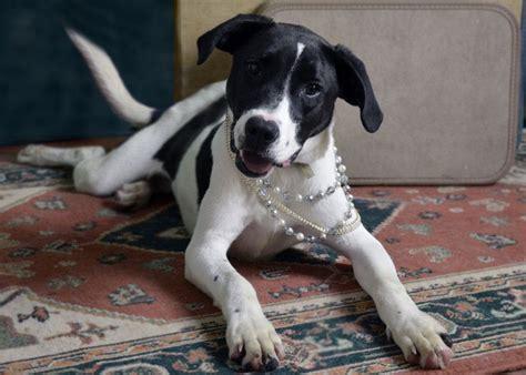 pointer mix oltre 1000 idee su incrocio di beagle e labrador su incrocio di beagle