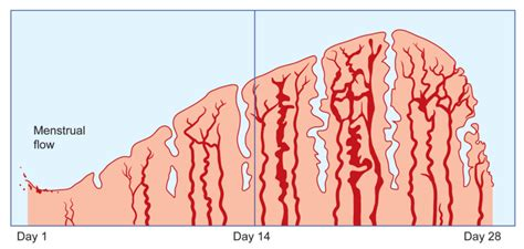Menstrual Cycle After Cesarean Section by The Menstrual Cycle Ck 12 Foundation