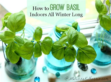 grow basil indoors without dirt all winter melissa k