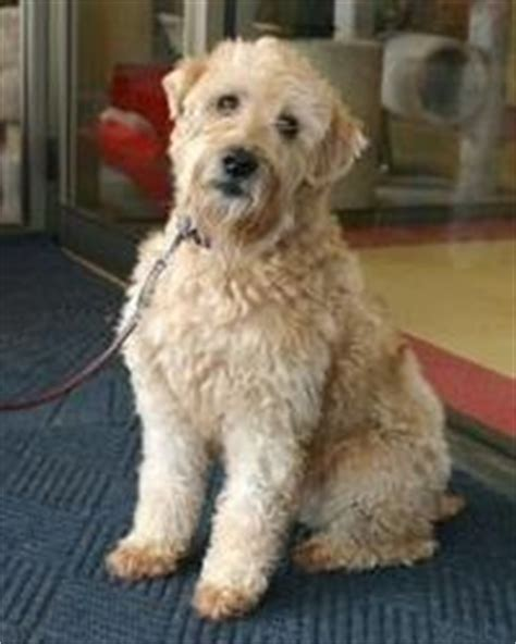 cute cuts for wheaten terriers 90 best images about soft coated wheaten terriers on