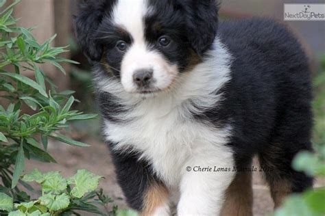 australian shepherd puppies for adoption mini aussie puppies adoption breeds picture