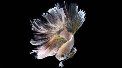 Halfmoon Albino Betta Fish Picture 18 of 20 Wallpapers