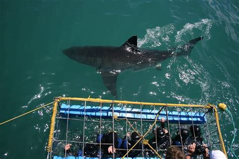 boat ride back to africa shark cage diving tour adventures in cape town south africa