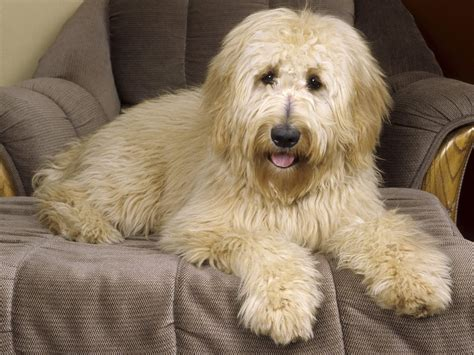 what is a golden retriever and poodle mix called pics for gt golden retriever poodle mix black